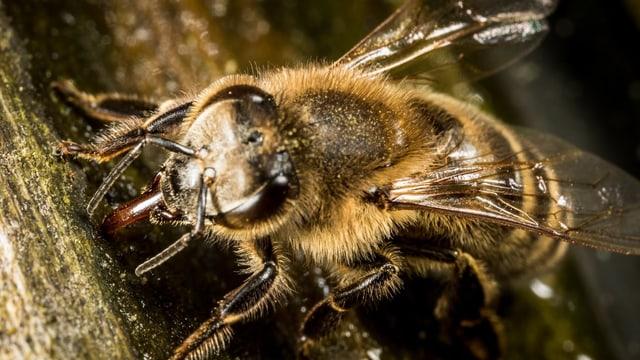 SRF News: Chemikalien-Spuren im Honig von Bienen sind weltweit Insektengift ausgesetzt