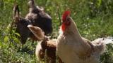 Aus dem Leben eines Bio-Huhns (Artikel enthält Audio)
