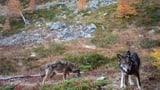 Bundesrat hält Jagdgesetz für «guten Kompromiss» (Artikel enthält Video)