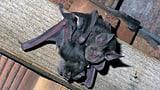 Urlaub machen neben Fledermäusen (Artikel enthält Audio)
