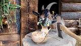 «Das schläckt kei Geiss wäg»: So tierisch ist unsere Sprache (Artikel enthält Video)