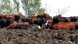 Ungesunde Mastform für Premium-Rindfleisch (Artikel enthält Video)
