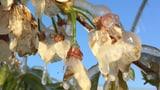 Die Aprikosenernte ist bedroht (Artikel enthält Audio)