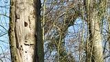 Umstürzende Bäume im Hardwald (Artikel enthält Audio)