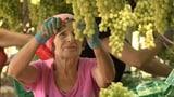 Video «Tafeltrauben im Pestizid-Test: Beeren mit und ohne Gift» abspielen