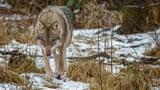 Weshalb gibt es weniger Wolfsrisse im Kanton Bern?  (Artikel enthält Audio)