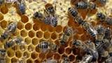 Video «Asthma – Bienenstock-Luft soll helfen» abspielen