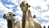 Kamele in einem Zelt: Der Kantonstierarzt musste einschreiten (Artikel enthält Audio)