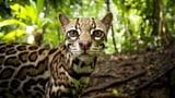 Die Welt der Raubkatzen – Heimliche Jäger (2/2)