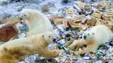 Eisbären machen russische Arktis-Insel unsicher (Artikel enthält Video)