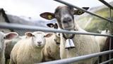 Die Geschichte vom guten und vom bösen Schaf (Artikel enthält Audio)
