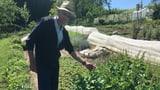 Eine Leidenschaft für fast vergessenes Gemüse (Artikel enthält Audio)