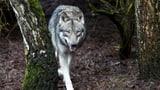 Video «Wolf im Visier» abspielen