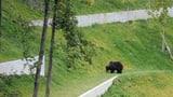 Bern will wieder Bären züchten (Artikel enthält Audio)