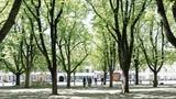 Bäume auf dem Basler Münsterplatz leiden  (Artikel enthält Audio)