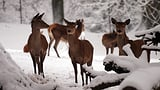Kanton budgetiert Hirsche - zu viele? (Artikel enthält Audio)