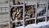 100 Franken Busse für eine gequälte Katze (Artikel enthält Audio)