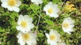 Alpenflora (Artikel enthält Bildergalerie)
