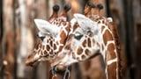 Eine afrikanische Tier-WG am Zürichberg (Artikel enthält Audio)