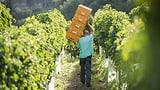 «Weinland Schweiz»: Diese Fakten müssen Sie kennen