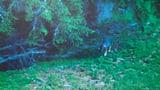 Wolfsrudel Nr. 4 in Graubünden beobachtet (Artikel enthält Audio)