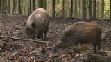 Video «Vom Schaden und Nutzen der Wildschweine» abspielen