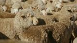 Video «Das Leiden der Lämmer: Tierquälerei für Merino-Wolle» abspielen
