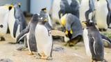 Neue Anlage für Pinguine eröffnet (Artikel enthält Audio)