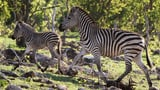 Video «Die grossen Wanderungen – Der Zug der Zebras (3/3)» abspielen