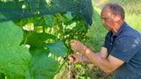 Winzer Christian Herzog: «Auslauben setzt Energie frei» (Artikel enthält Audio)
