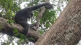 Der Schimpanse, ein Panzerknacker (Artikel enthält Audio)