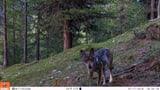 Wolfsmonitoring mit Künstlicher Intelligenz (Artikel enthält Audio)