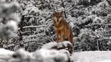 Weniger als 20 Wölfe haben rund 200 Nutztiere gerissen (Artikel enthält Video)