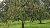Hochstammobstbäume als Wahrzeichen erhalten (Artikel enthält Audio)
