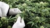 Kommt nun das Cannabis auf Rezept? (Artikel enthält Video)