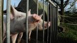 Schweinemast in Werthenstein muss schliessen (Artikel enthält Audio)