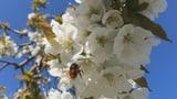 Video «Wildbienen: Unerlässliche Helfer für die Bauern» abspielen