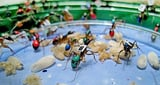Video «Forschungsobjekt Ameise» abspielen