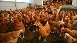 Vogelgrippe-Fall auch in Tschechien (Artikel enthält Video)