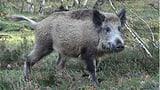Was Wildschweine mit Wahlen gemein haben (Artikel enthält Audio)