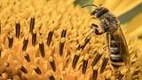 «Sterile, herausgeputzte Gärten sind nichts für Wildbienen» (Artikel enthält Audio)