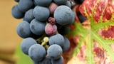 Hochwertige Ernte aber nur wenig Trauben (Artikel enthält Audio)