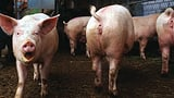 Schweinezüchter freigesprochen, Kritik an Tierschutzkontrollen (Artikel enthält Audio)