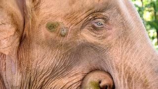 Düstere Zeiten für weisse Elefanten