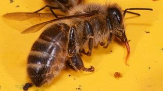 Zahlreiche Vergiftungsfälle bei Bienen