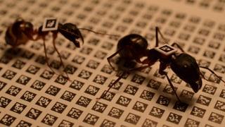 Ameisen arbeiten nach Dienstalter