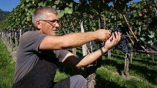 Guter Wein – aber weniger Ertrag