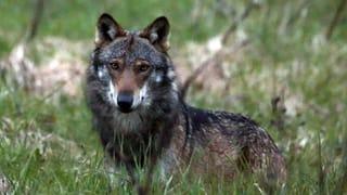 Walliser Behörden nehmen wieder einen Wolf ins Visier