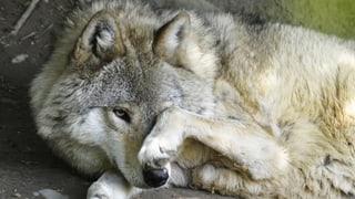 Walliser Wolf ging Wildhütern und Jägern nicht in die Falle