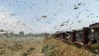 Heuschrecken fressen Südrussland kahl